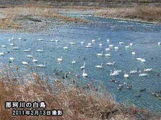 那珂川の白鳥