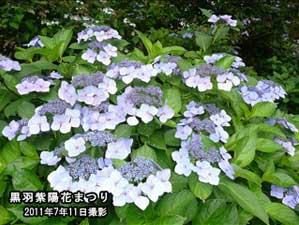 黒羽紫陽花まつり